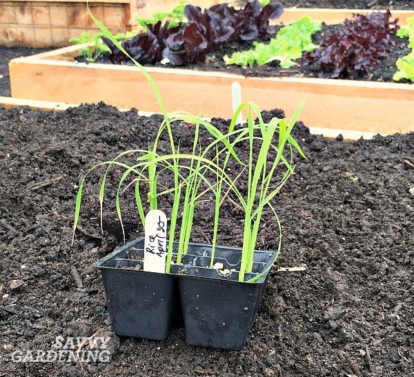 Rice seedlings ready for the garden.