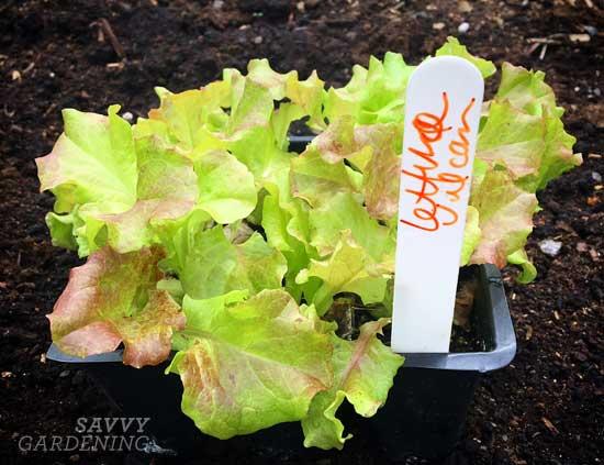 Vulcan lettuce