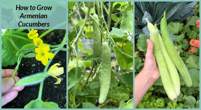 learn how to grow Armenian Cucumber melons