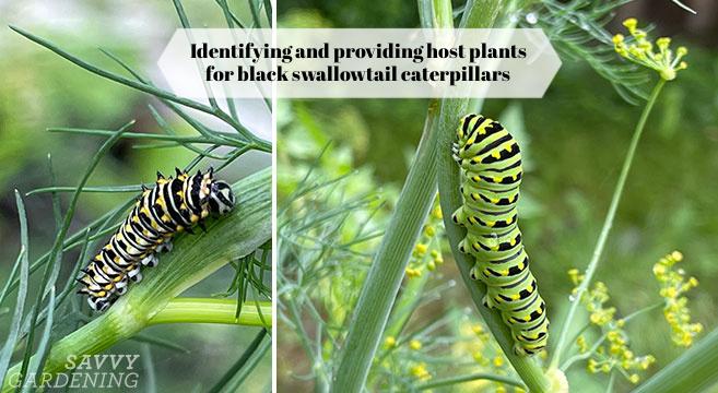 a caterpillar on dill in a garden